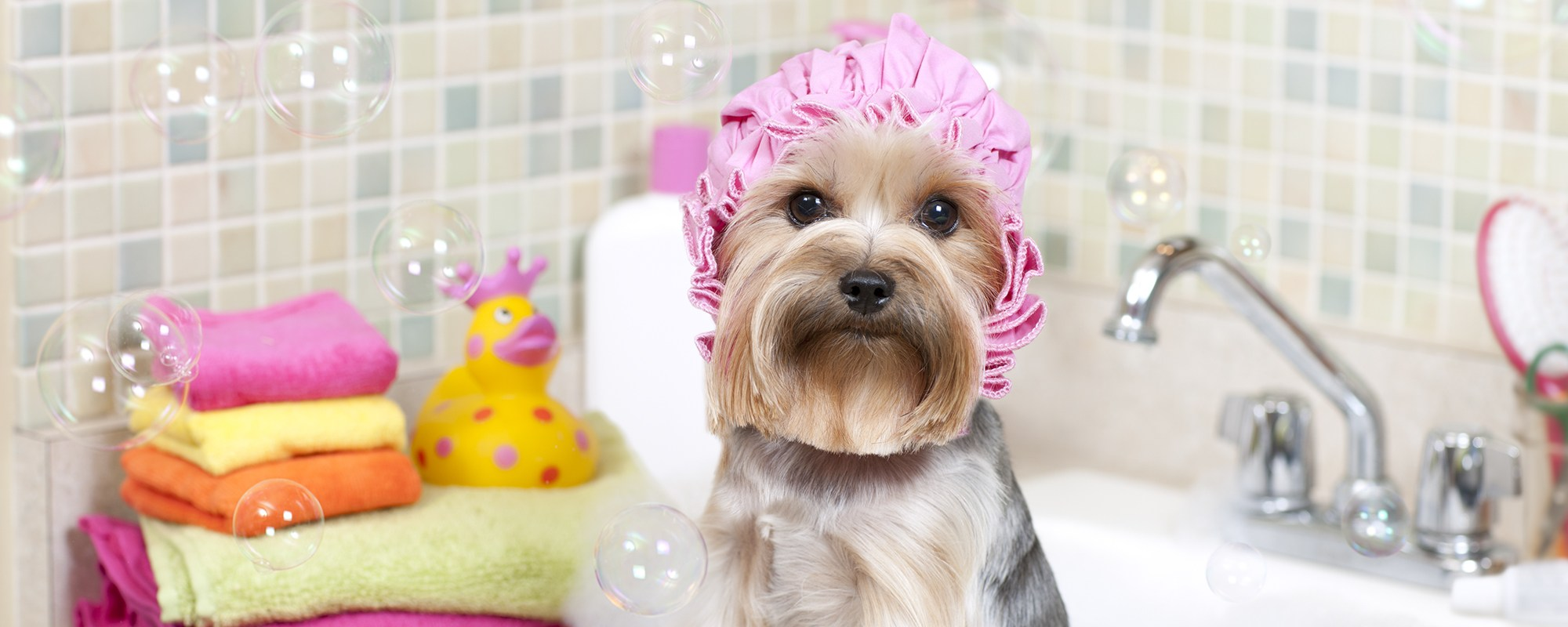 Yorkie taking a bubble bath in her pink bath cap.PLEASE CLICK ON THE IMAGE BELOW TO SEE MY DOGGY LIGHTBOX PORTFOLIO:
